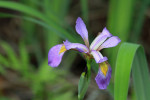2676--- Blue Flag (Wild Iris)