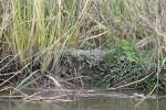 2764---2-22-15 Camouflaged gator (Boys Estate Creek) (Altamaha Canal)