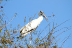 2779 Wood Stork with nesting material