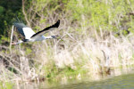 2792 Wood Stork in flight with nesting material