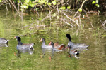 2805 Common Moorhens & American Coots