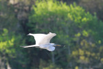 2858 Great Egret in Flight with nest building material