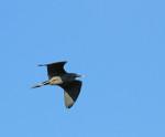 2908---Little Blue Heron in Flight