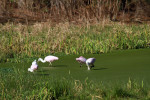 3169 Roseate Spoonbills Feeding