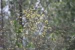 3239---3-14-15 Pondspice (Rare Plant)