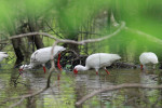 3481---4-10-15 White Ibis feeding in Miller Lake Swamp(A)