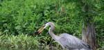3546---4-17-15 Great Blue Heron With Catfish