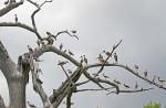 3597 The Ibis Tree