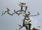 3603 White Ibis on the Altamaha River