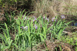 3698 Blue Flag (Wild Iris)