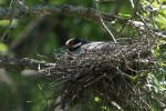 3725---4-21-15 Nesting Yellow-crown Night Heron