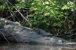 3733 Gators on a log (Lewis Creek)