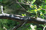 3742 Brown Water Snake (Lewis Creek)