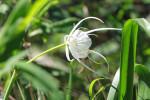 3786 Spider Lily (Hymenocallis caroliniana) (Rifle Cut)