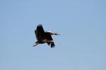 3795 Black-bellied Whistler Ducks