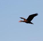 3799 Black-bellied Whistler Duck
