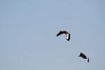 3801 Black-bellied Whistler Ducks