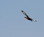 3802 Black-bellied Whistler Duck