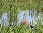 3809 Black-bellied Whistler Ducks in marsh grass