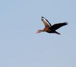 3825 Black-bellied Whistler Duck