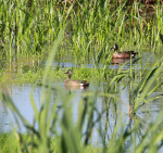 3830 Blue Winged Teal