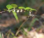 3897---3-5-16 Zebra Swallowtail Nourishing on Shining Fetterbush (Lyonia lucida)