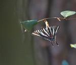 3901--3-5-16 Zebra Swallowtail Nourishing on Shining Fetterbush (Lyonia lucida)