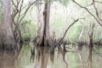 4113---4-10-15 A cypress swamp scene
