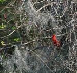 4137 The Northern Cardinal (Redbird)