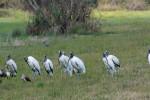 4170 Wood Storks Resting