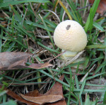 4173 Mushroom