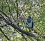 4197----Tri-colored Heron