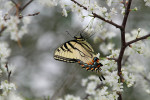 4247 Eastern Tiger Swallowtail Nourishing on Wild Plum (Plum Orchard)