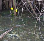 4312 Floating Bladderwort