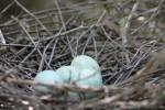 4345---4-21-15 Yellow-crown Night Heron Eggs