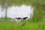 4590-glossy-ibis_595