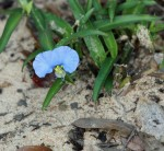 6310 Virginia Dayflower