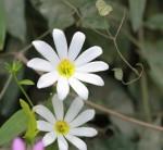 6348 Sabatia foliosa (White form is rare)