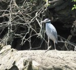 6353 Yellow-crown Night Heron