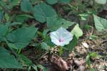 7050---Wild Sweet Potato (Ipomoea pandurata)