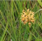 7474 Orange Fringed orchid