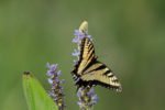 7486 Eastern Tiger Swallowtail on Pickerel Weed
