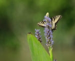 7487---Eastern Tiger Swallowtail on Pickerel Weed