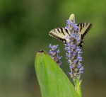 7488 Eastern Tiger Swallowtail on Pickerel weed