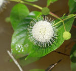 7516---Button bush (Cephalanthus occidentalis)