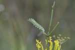 7559 Hopefully this is a butterfly larvae