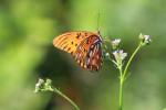 7589 Gulf Fritallary Butterfly