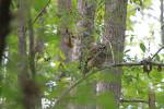 7598 Barred Owl