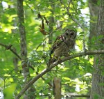 7602 Barred owl