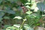 7624 Zebra Heliconian Butterfly
